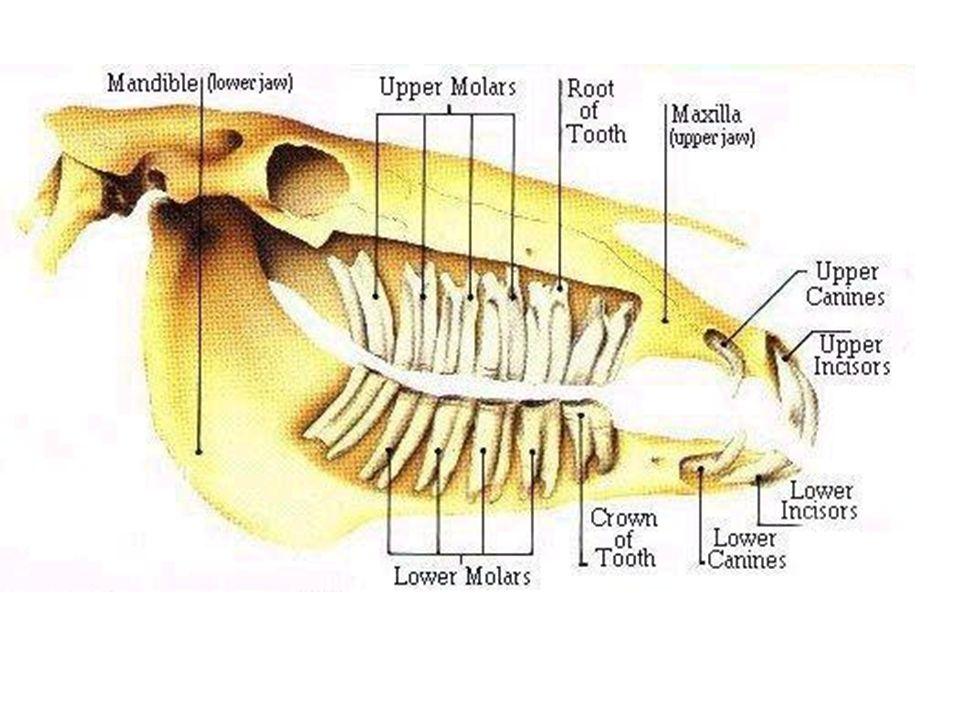 Male 2(I 3/3 C 1/1 P 3 or 4/3 M 3/3) = 40 or 42 teeth Female 2(I 3/3 ...