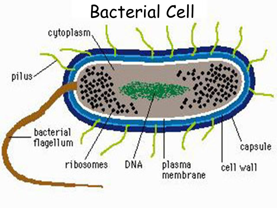 Cell Bacteria Diagram Complete Wiring Diagrams