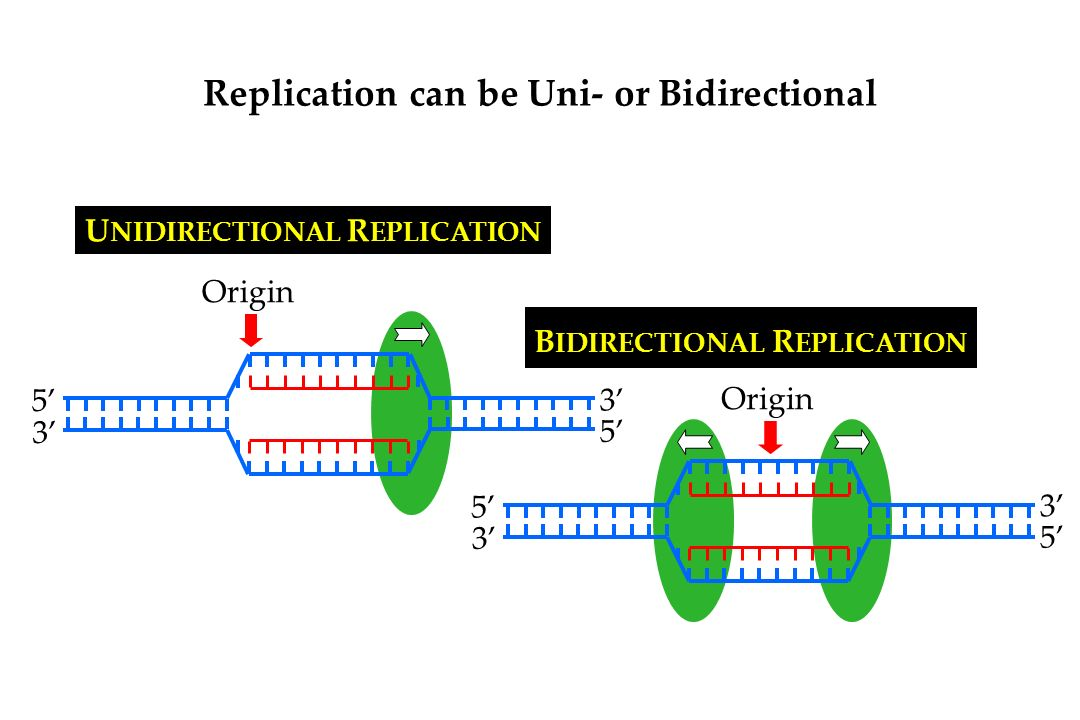 Model For Dna Replication Semiconservative Model Daughter Dna Molecules Contain One Parental Strand And One Newly Replicated Strand Ppt Download