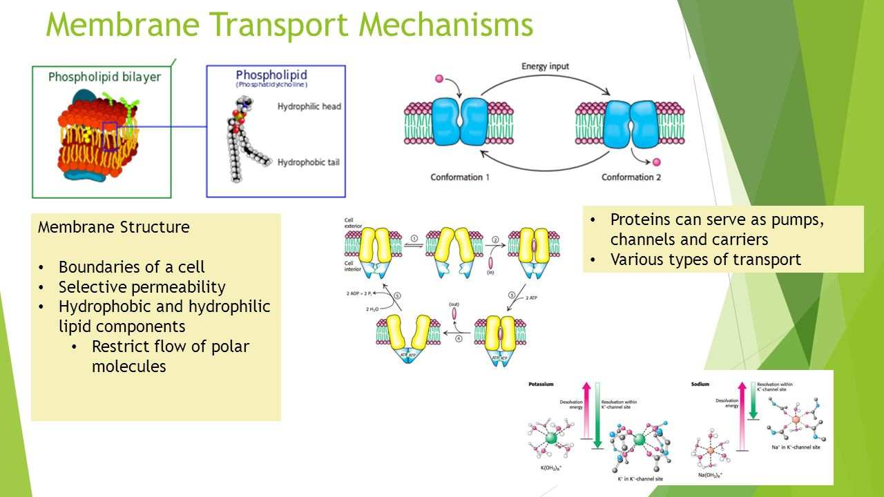 physioex cell transport mechanisms and permeability answers