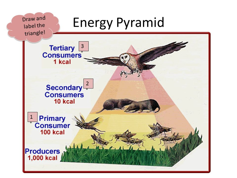 Energy Pyramid Draw and label the triangle! 3°3° 2°2° 1°1°