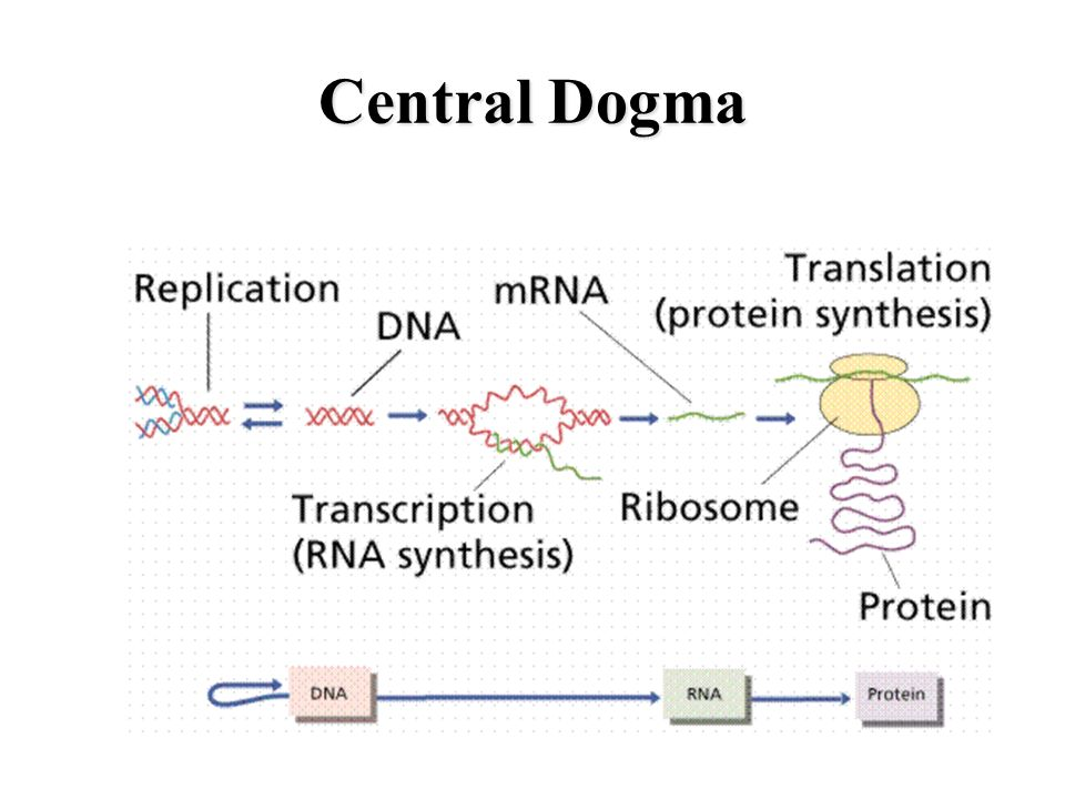 Protein Synthesis Central Dogma Transcription Mrna Genetic
