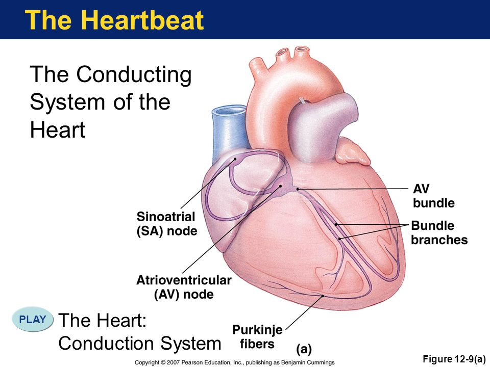 Conduction System Of The Heart Where Is The Heart Ppt Download