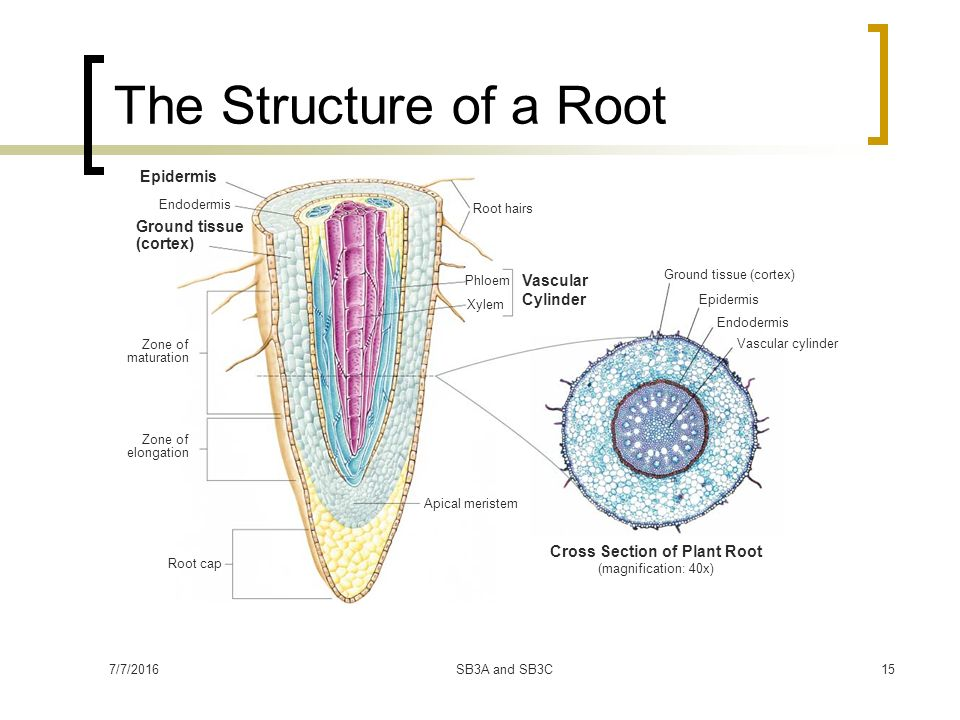 vascular tissue in plants Advertisements: the below mentioned article provides an overview on the vascular tissue system of plants the vascular tissue system consists of the complex tissues.