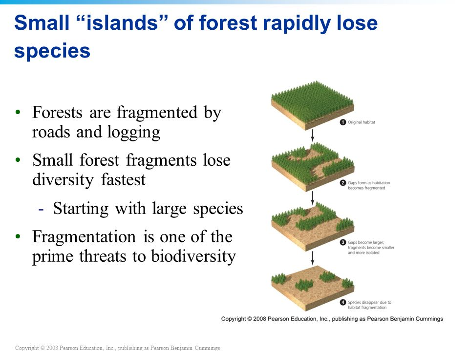 Copyright © 2008 Pearson Education, Inc., publishing as Pearson Benjamin Cummings Small islands of forest rapidly lose species Forests are fragmented by roads and logging Small forest fragments lose diversity fastest -Starting with large species Fragmentation is one of the prime threats to biodiversity