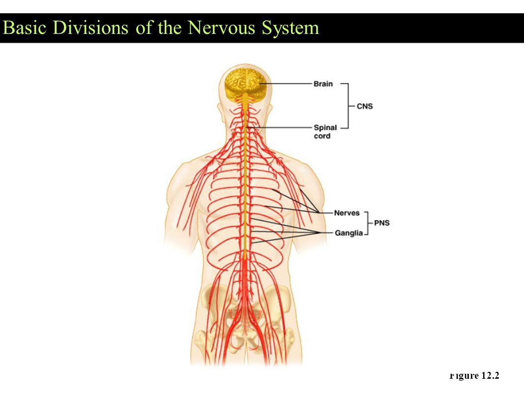 The Nervous System : communication A. Neurons = masses of nerve ...