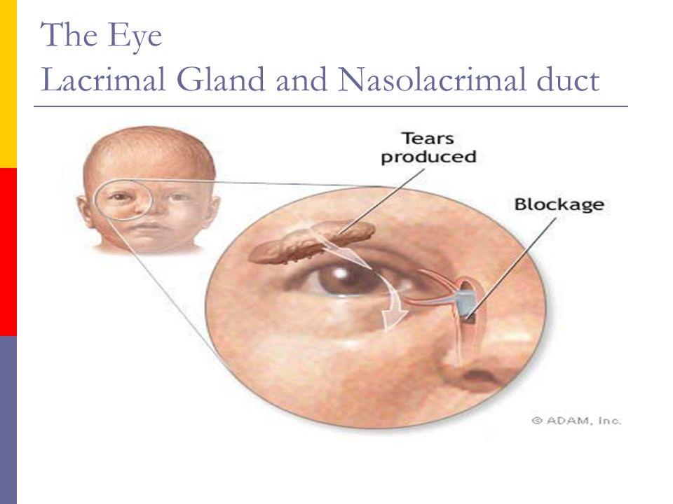 Head and Neck (Head& Eye). The Head Anatomy The External Eye Medial ...