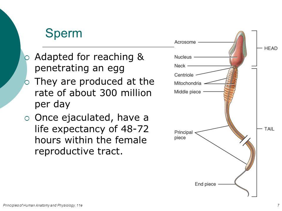 where is female ejaculate stored