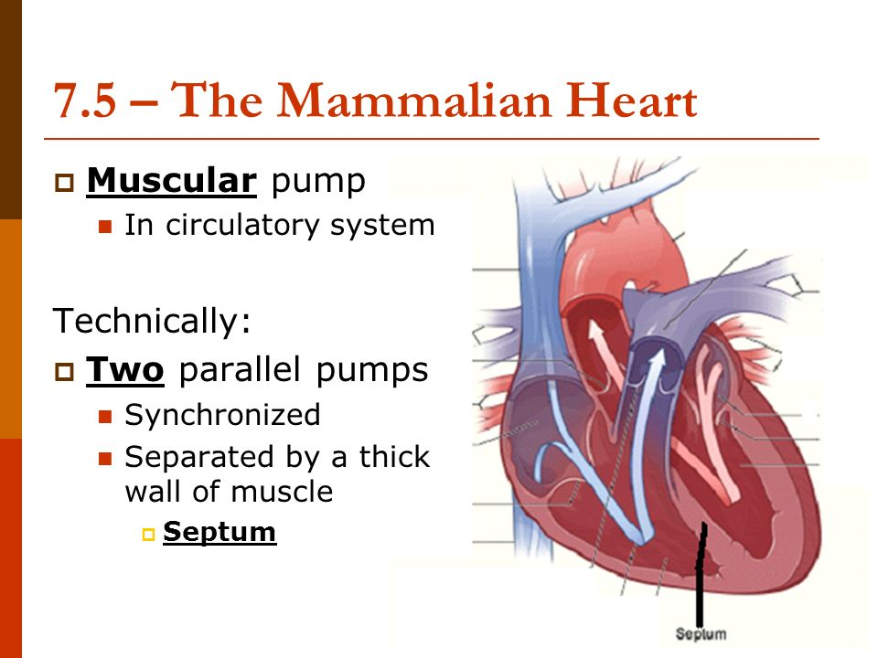 The Heart Circulatory System Ms Lowrie Advanced Biology Ppt Download