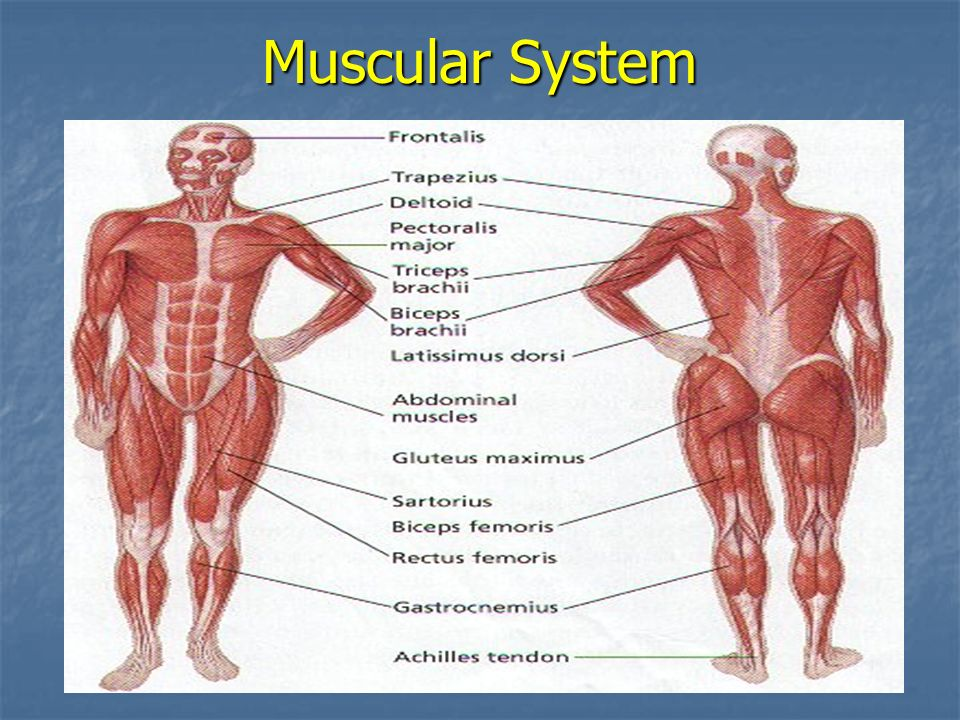 Muscular System The Muscular System Composed Of Muscle Tissue