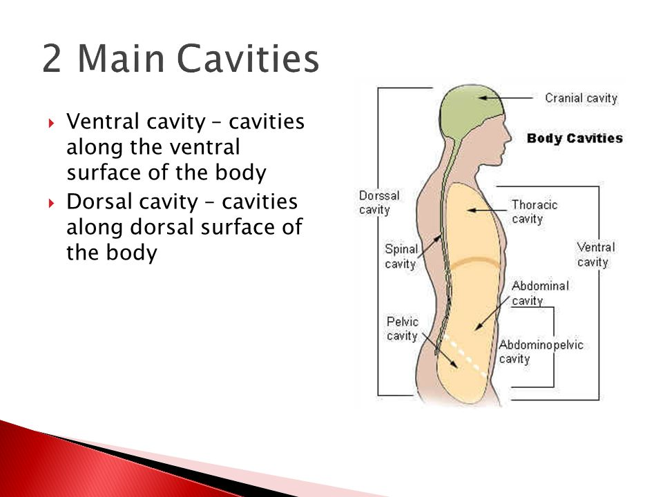 3  ventral cavity – cavities along the ventral surface of the body   dorsal cavity – cavities along dorsal surface of the body