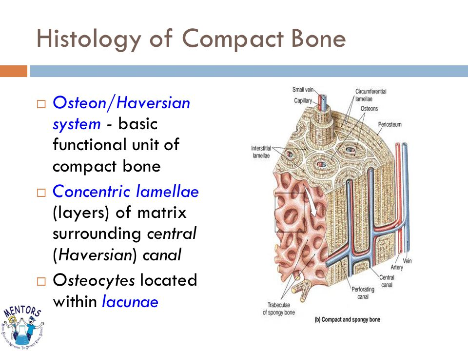 Bones Function Support Hard Rigid Frame That Gives Structure