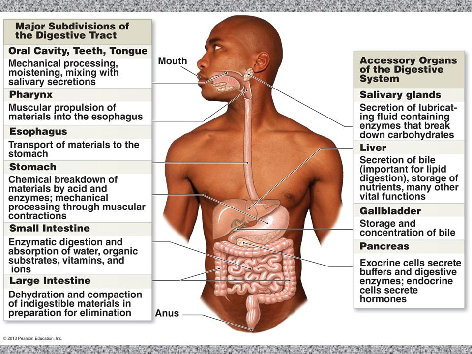 Chapter 16 The Digestive System. 16-1: The Digestive System ...