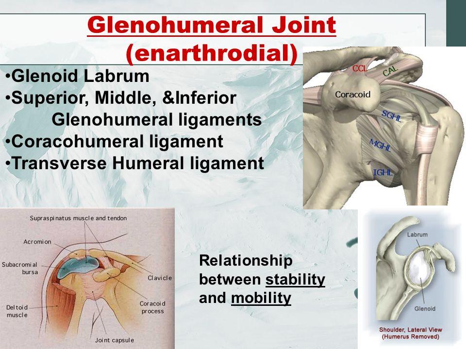 Shoulder Joint Chapter 5. Humerus Radial Fossa Coronoid Fossa ...