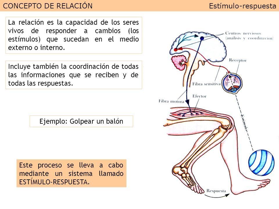 UD 3: LA RELACIÓN EN EL SER HUMANO (I): EL SISTEMA NERVIOSO ...