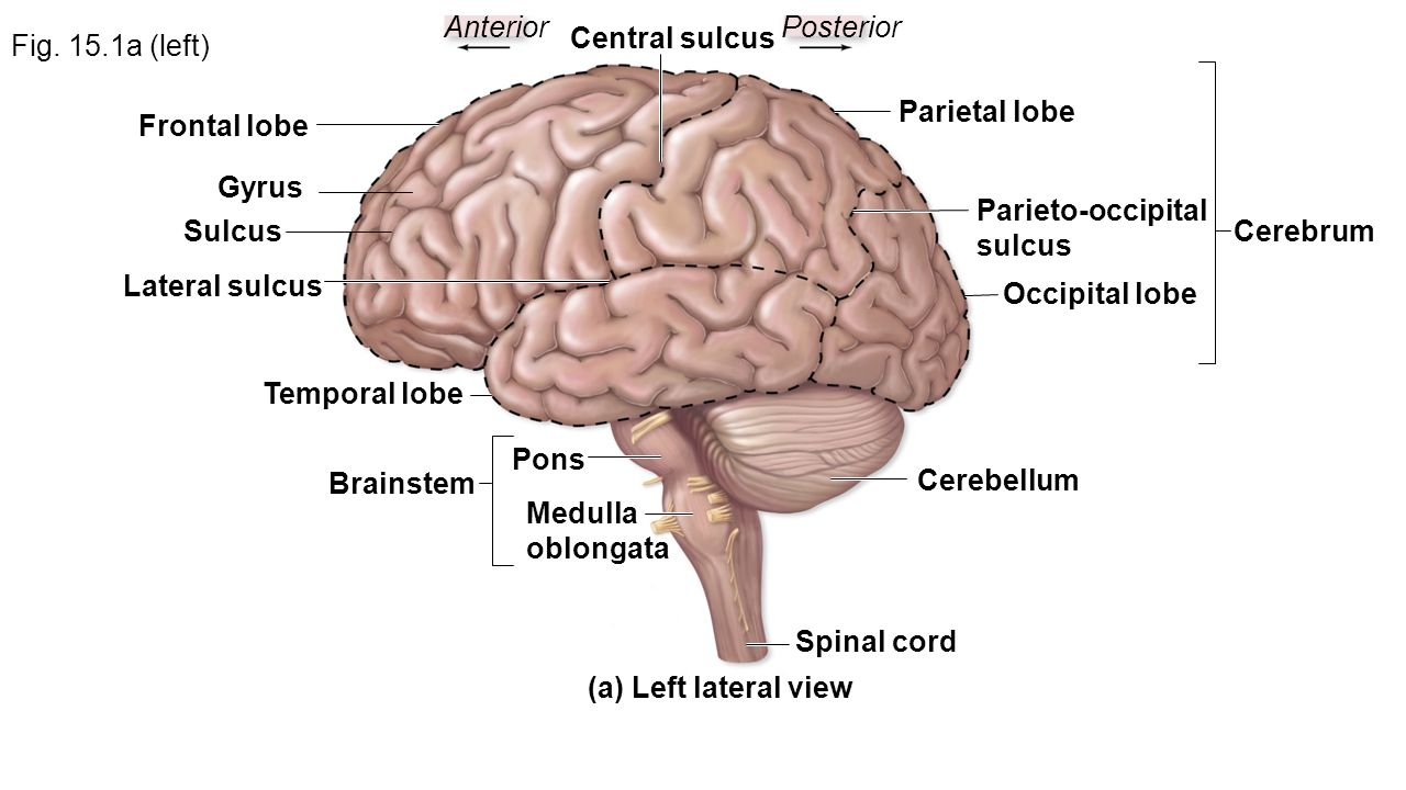 Chapter 15 Brain and Cranial Nerves. Fig. 15.1a (left) Sulcus ...