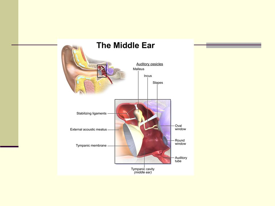 Middle Ear Disorders Lecture 13. Outline Anatomy – ME Development ...