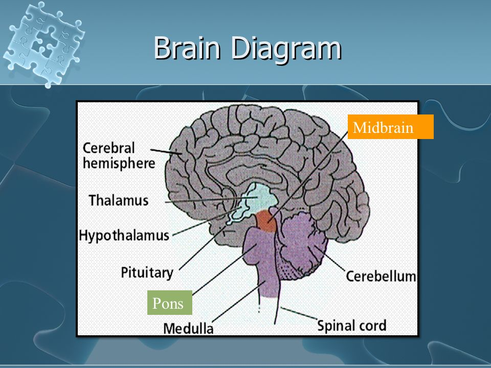 The brain and the nervous system brain facts the brain weighs 3 27 brain diagram midbrain pons ccuart Image collections