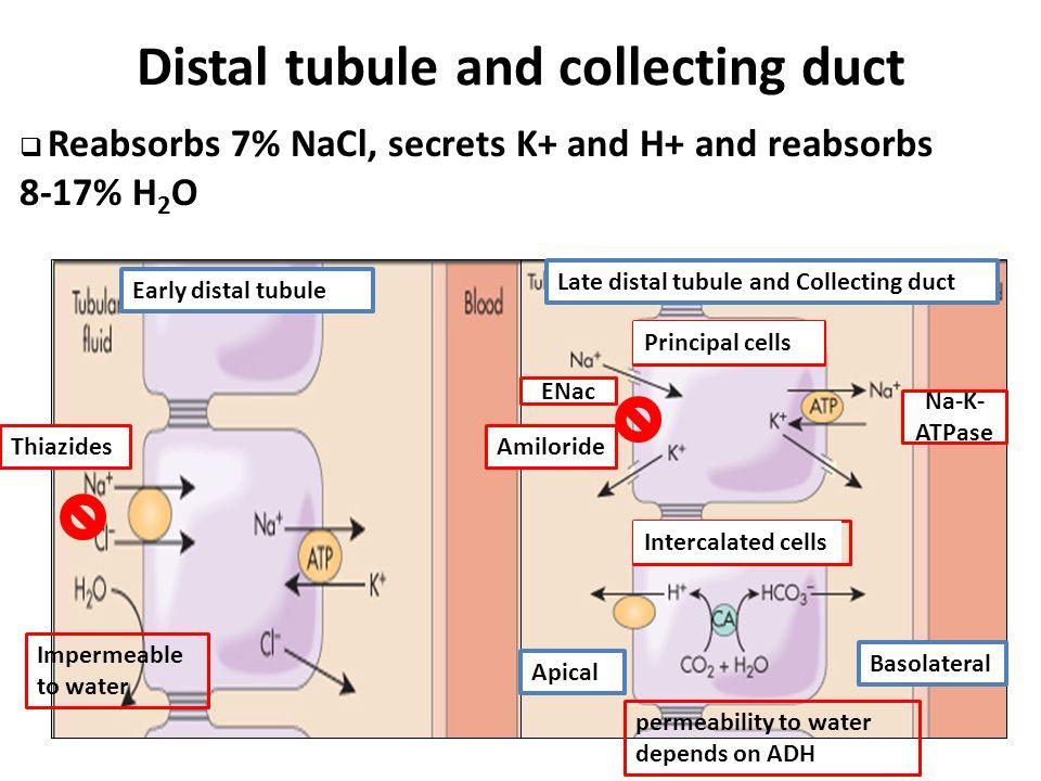 Tubular Reabsorption And Regulation Of Tubular Reabsorption Tortora