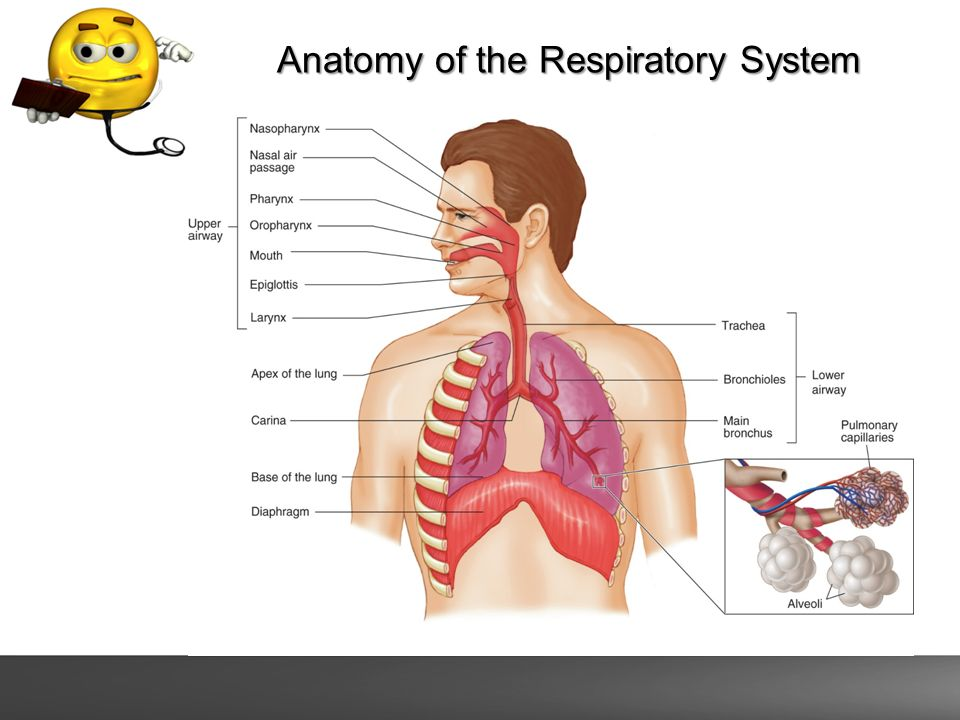 Airway And Respiratory Emergencies Anatomy Of The Respiratory