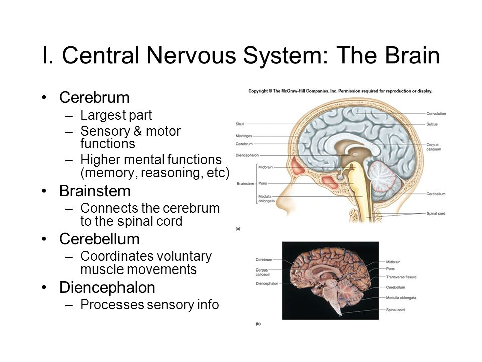 The Nervous System Part Ii The Brain I Central Nervous System The