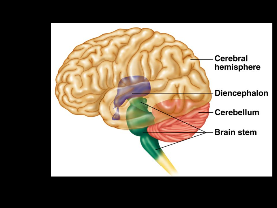 The Brain Ch 7c The Brain Functional Anatomy Cerebral Hemispheres