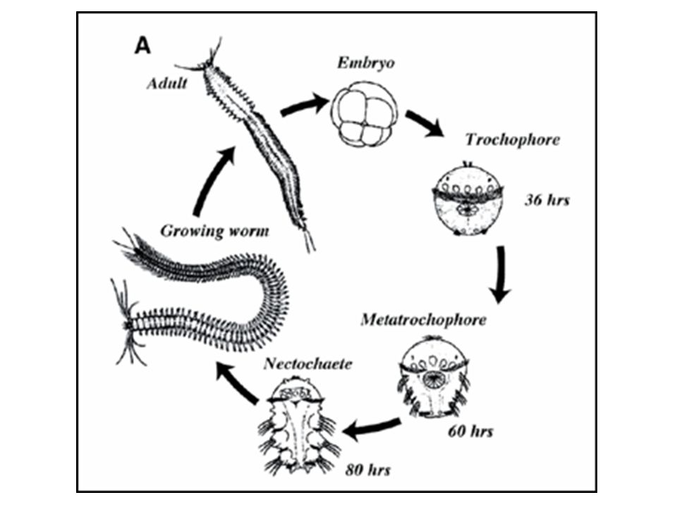 Phylum Annelida Segmented Worms