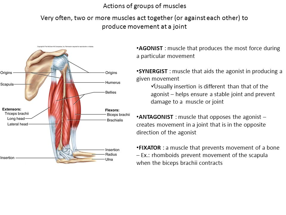 Bio 211- Anatomy and Physiology I Today\'s topics Muscular system ...