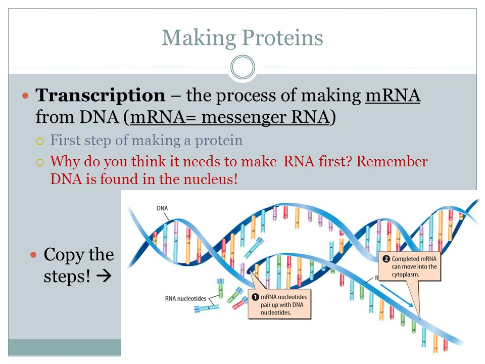 steps and process of dna Steps in protein synthesis: step 1: the first step in protein synthesis is the transcription of mrna from a dna gene in the nucleus at some other prior time, the various other types of rna have been synthesized using the appropriate dna.