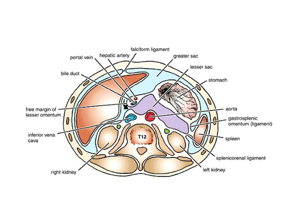 Abdominal Cavity: Peritoneum & GIT - ppt download