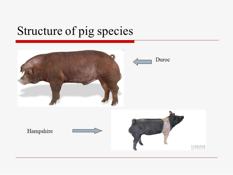 Overview of China's Pig Industry and Its Development China