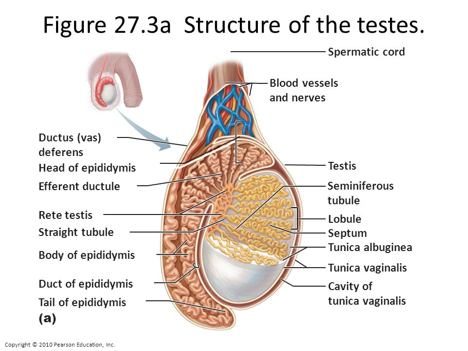 Human Male Reproductive System Human Reproduction and Development ...