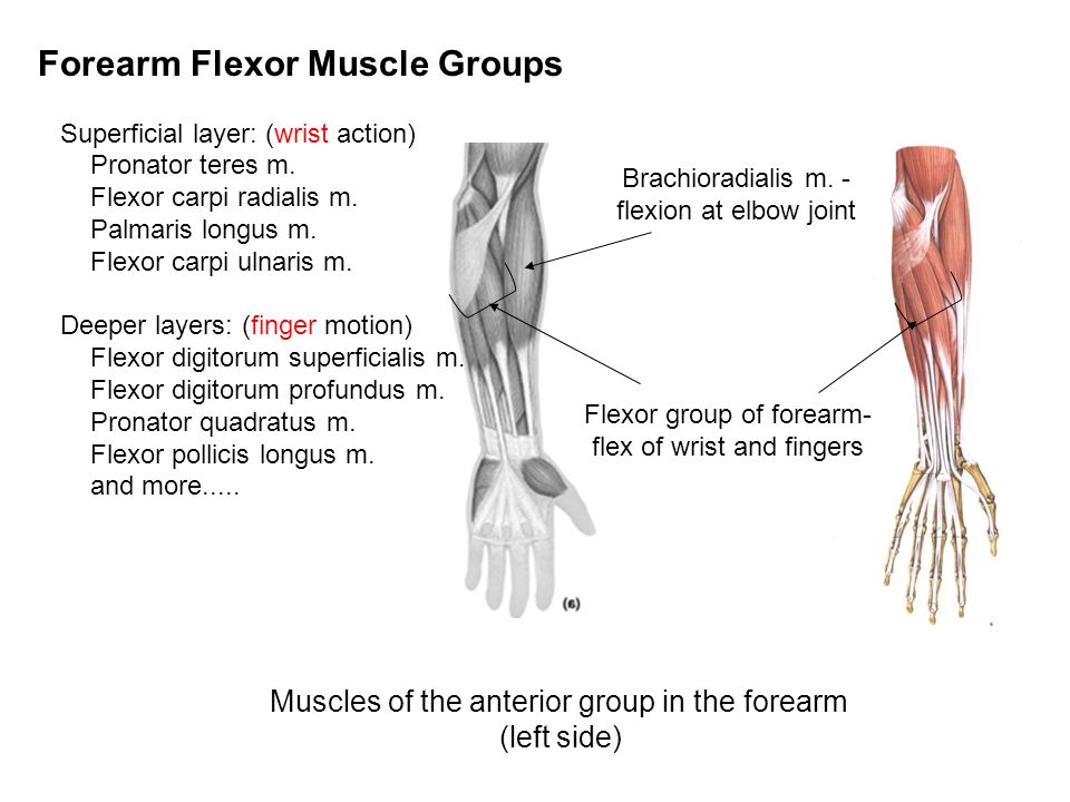 ANPS Anatomy & Physiology Joints, Muscles and Movement III. - ppt ...