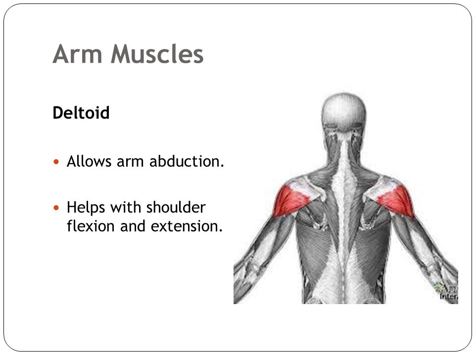 Human Bio 11 The Muscular System Skeletal Muscles Ppt Download