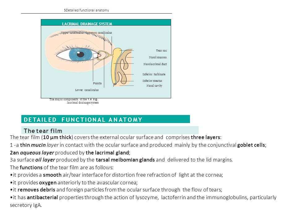 CHAPTER1 Anatomy GROSS ANATOMY The eye comprises: A tough outer coat ...