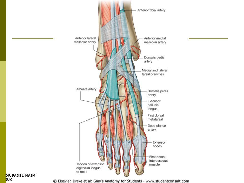 DR FADEL NAIM IUG The Leg Dr. Fadel Naim Orthopedic Surgeon Faculty ...