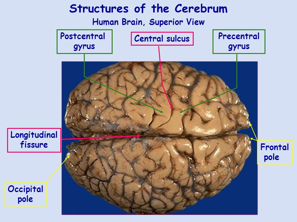 Lab 9 The Nervous System: Histology and The Brain. - ppt download