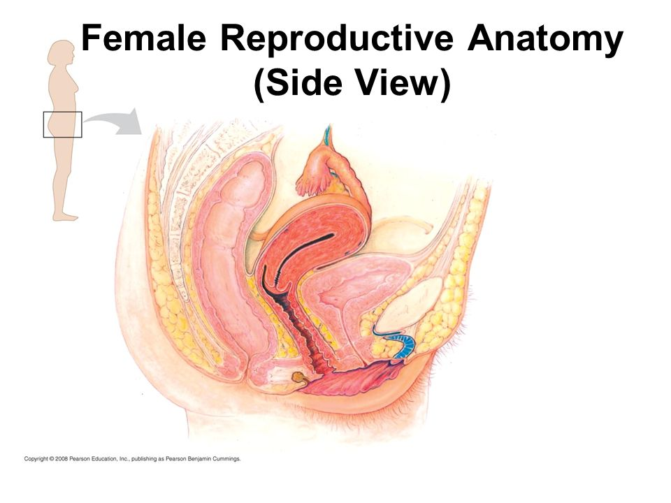 Male Reproductive Anatomy Front View Male Reproductive Anatomy