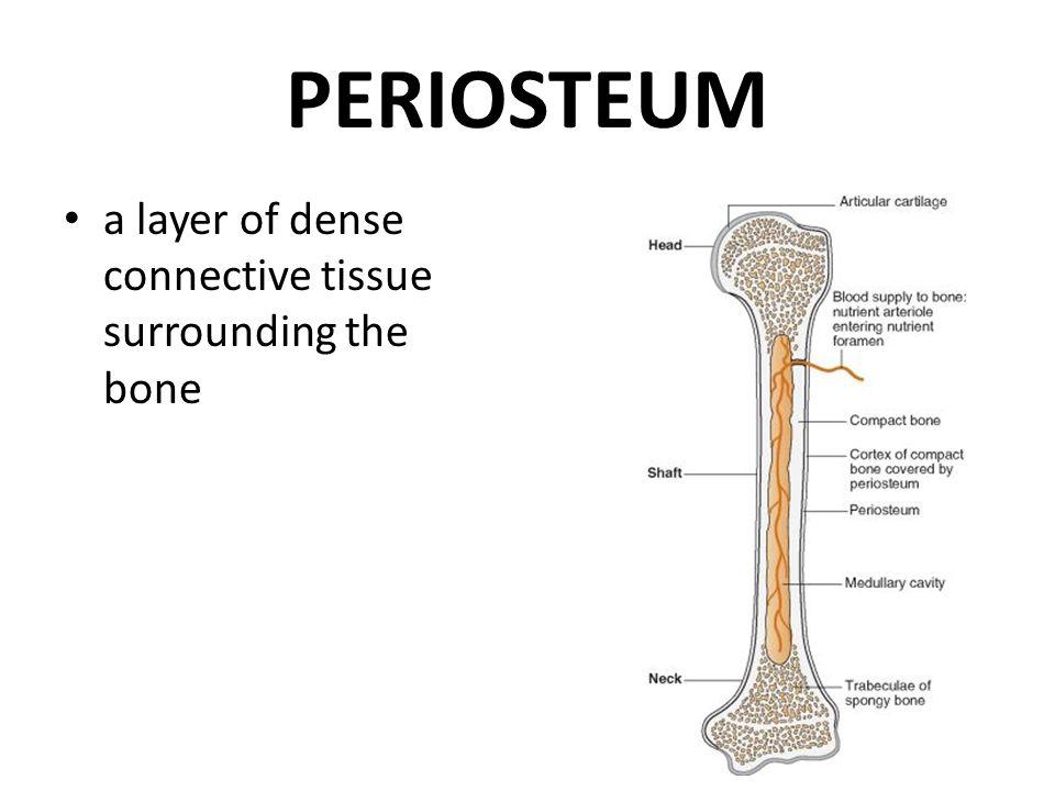 Bone Dr Iram Tassaduq Definition Bone Is A Specialized Connective