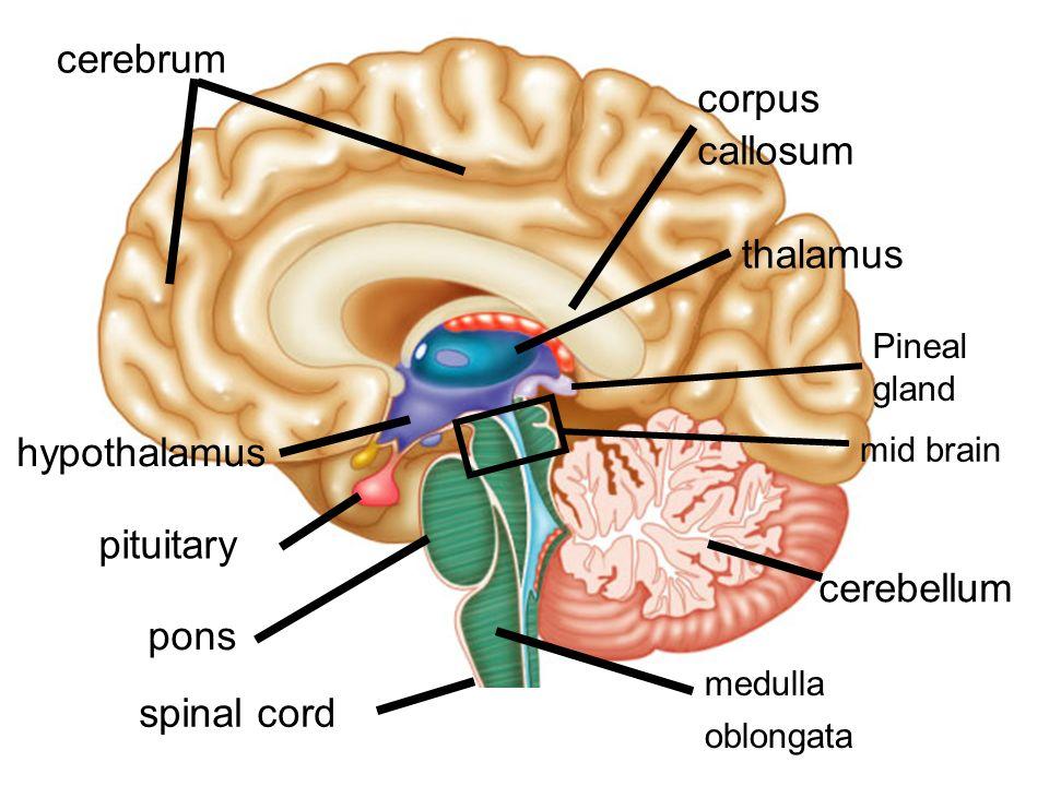 Medulla oblongata Cerebellum Diencephalon: Cerebrum Brain stem ...