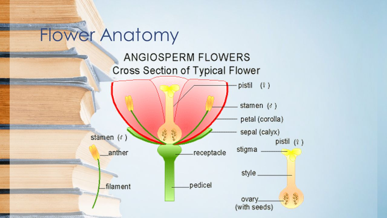 Plants Review Subtitle Flower Anatomy Parts Of The Flower Sepals