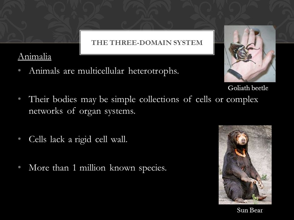 THE THREE-DOMAIN SYSTEM Animalia Animals are multicellular heterotrophs.
