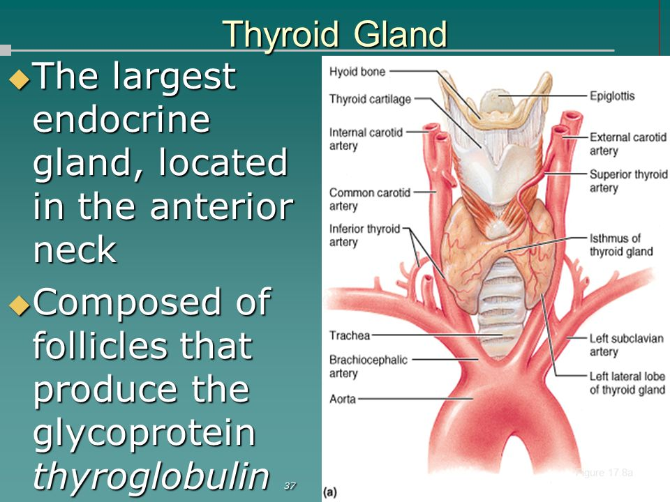 Human Anatomy Physiology Chapter 17 The Endocrine System Ppt