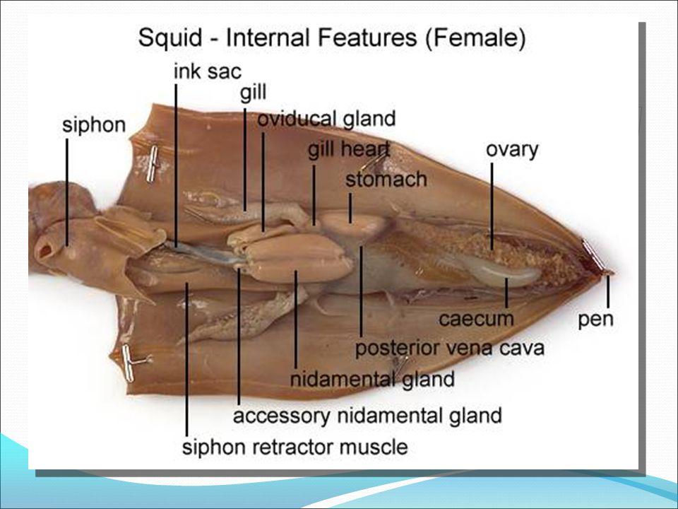 Squid Diagram Spermatophoric Sac Diy Enthusiasts Wiring Diagrams