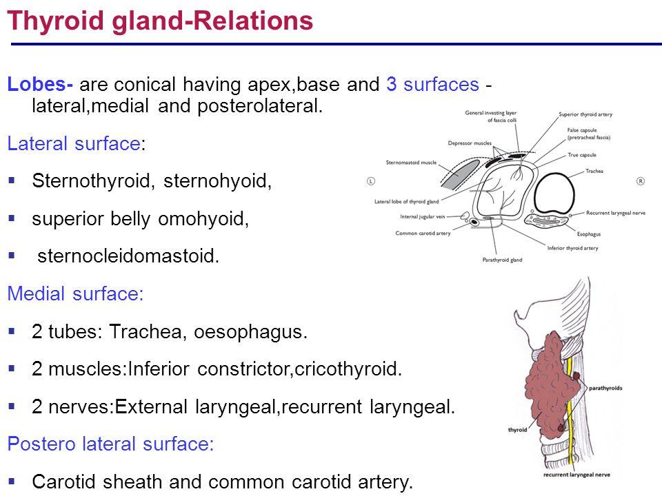 R Arulmoli Gross Anatomy Of Endocrine Glands Pituitary Adrenal