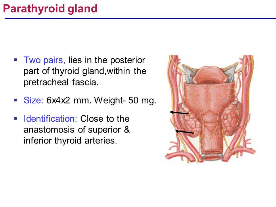 Rulmoli Gross Anatomy Of Endocrine Glands Pituitaryadrenal