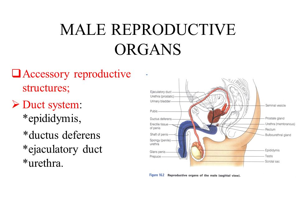 Male reproductive system. MALE REPRODUCTIVE ORGANS  Primary ...