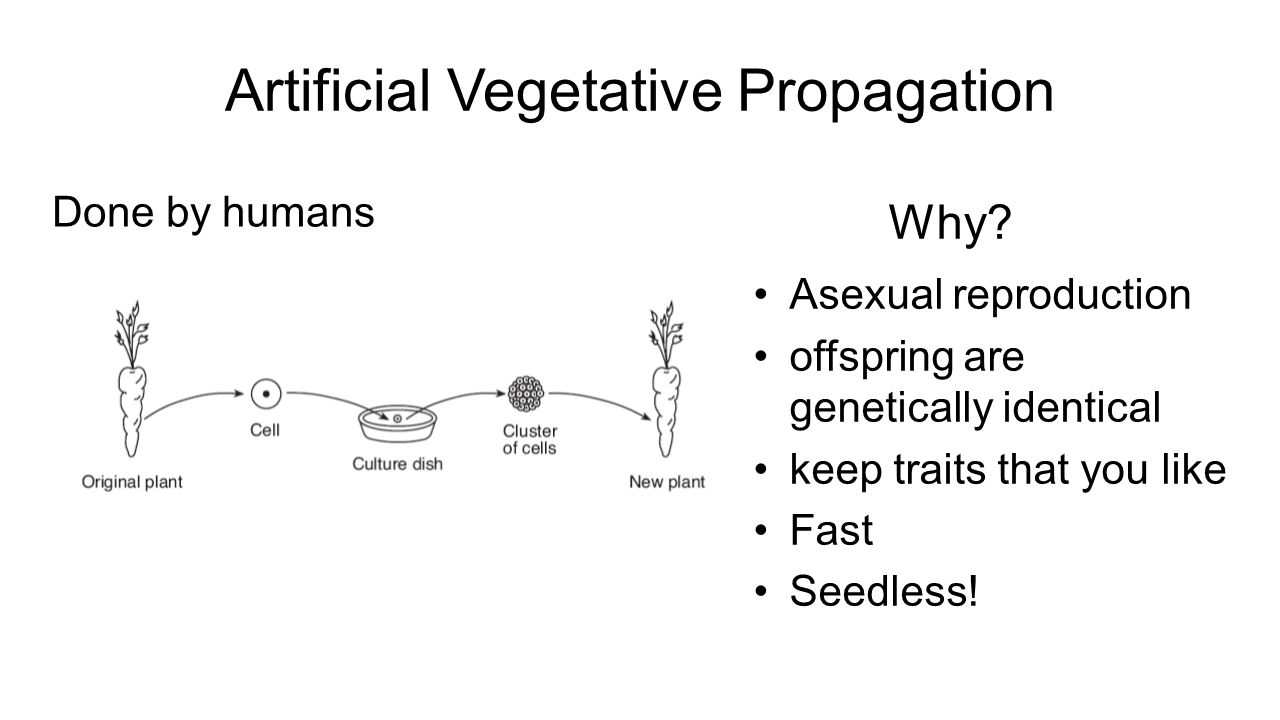 Artificial fragmentation asexual reproduction