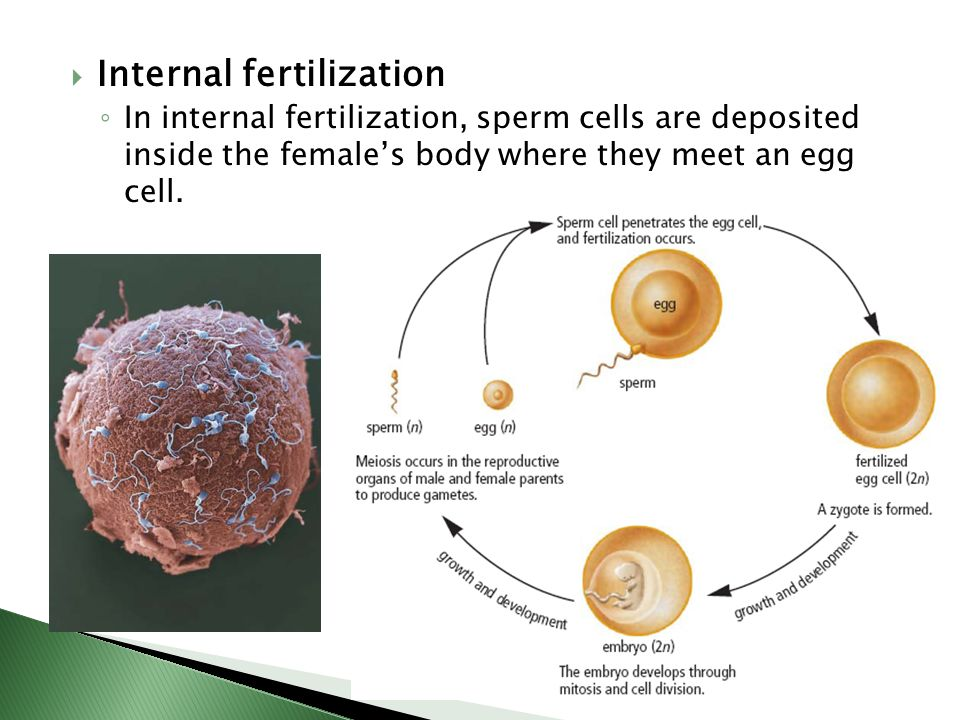 Involves The Fusion Of Egg Cell Ovum And Sperm Cell Sperm