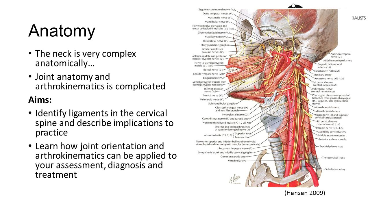 Non Muscular Anatomy Cervical Spine. Anatomy The neck is very ...